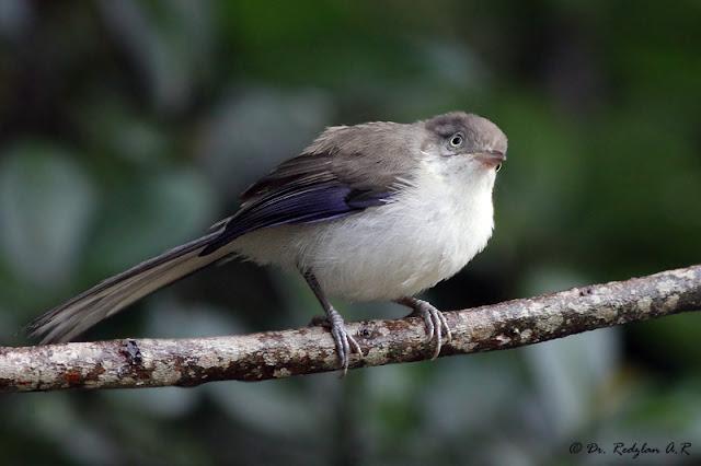 Blue-winged Minla Minla cyanouroptera sordidior