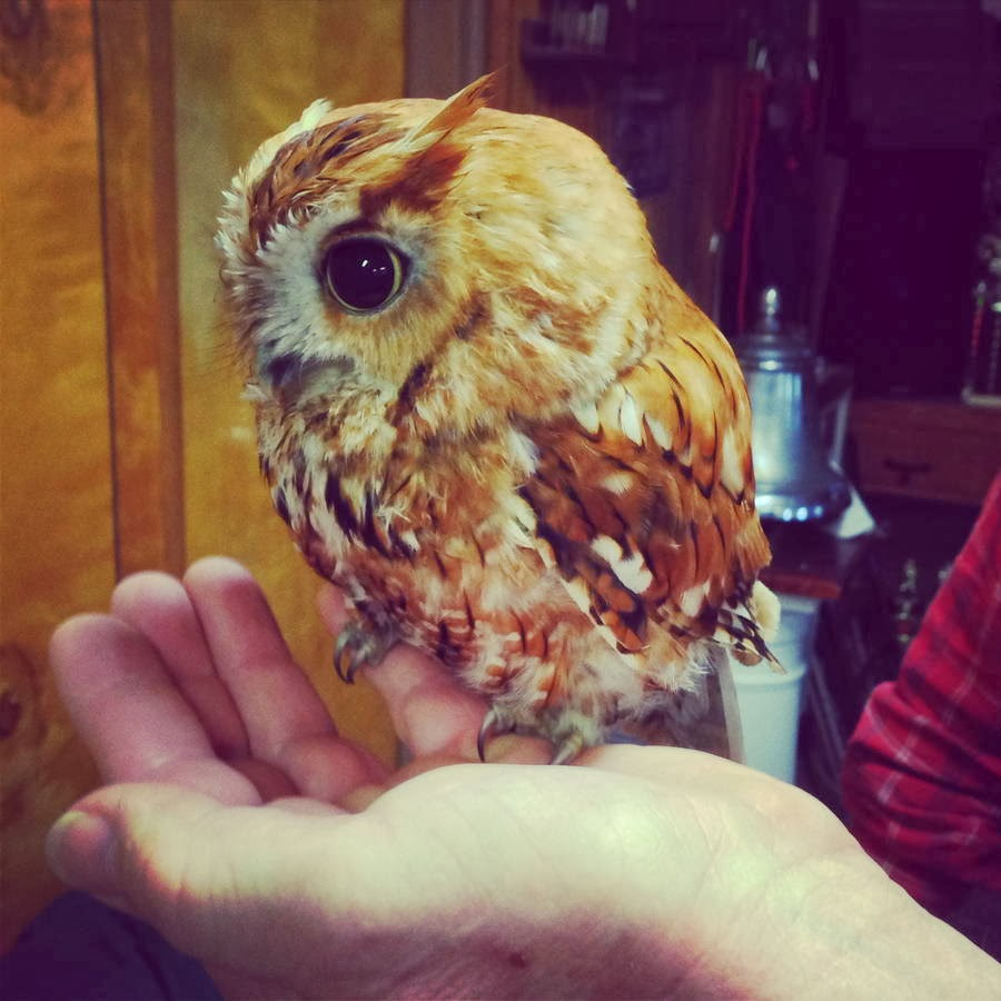 Funny animals of the week - 28 February 2014 (40 pics), cute tiny owl not bigger than human hand