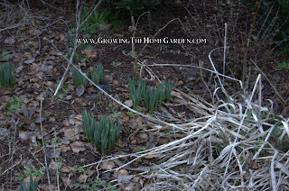 daffodils coming up