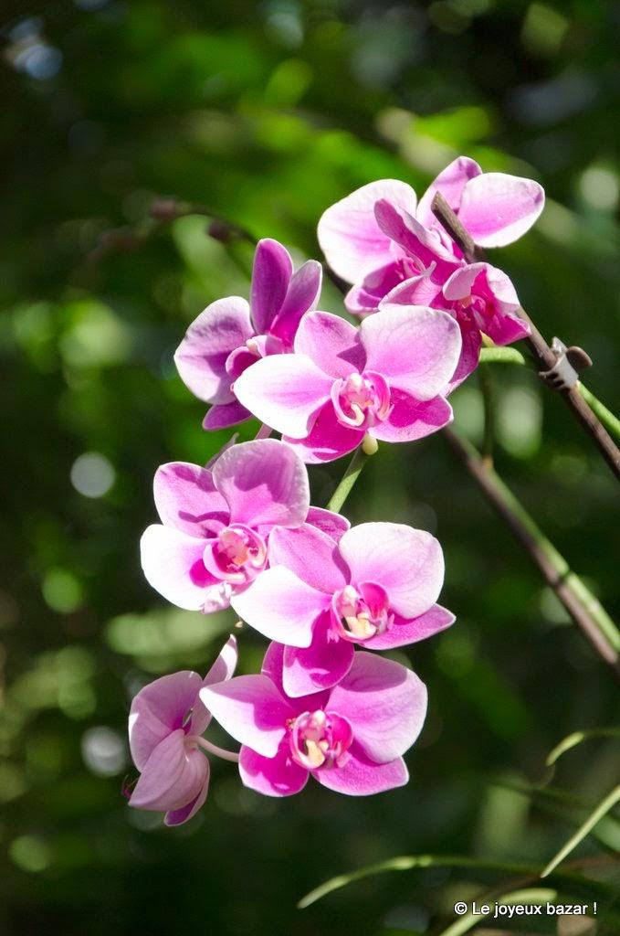 Guadeloupe  - Deshaies - jardin botanique - orchidees