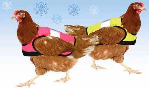 بالصور: ابتكار سترات متطورة لحماية الدجاج البرد