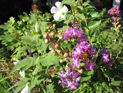 Annieinaustin,Catawba crepe myrtle, hibiscus