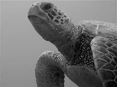 Black/white turtle (Honu)