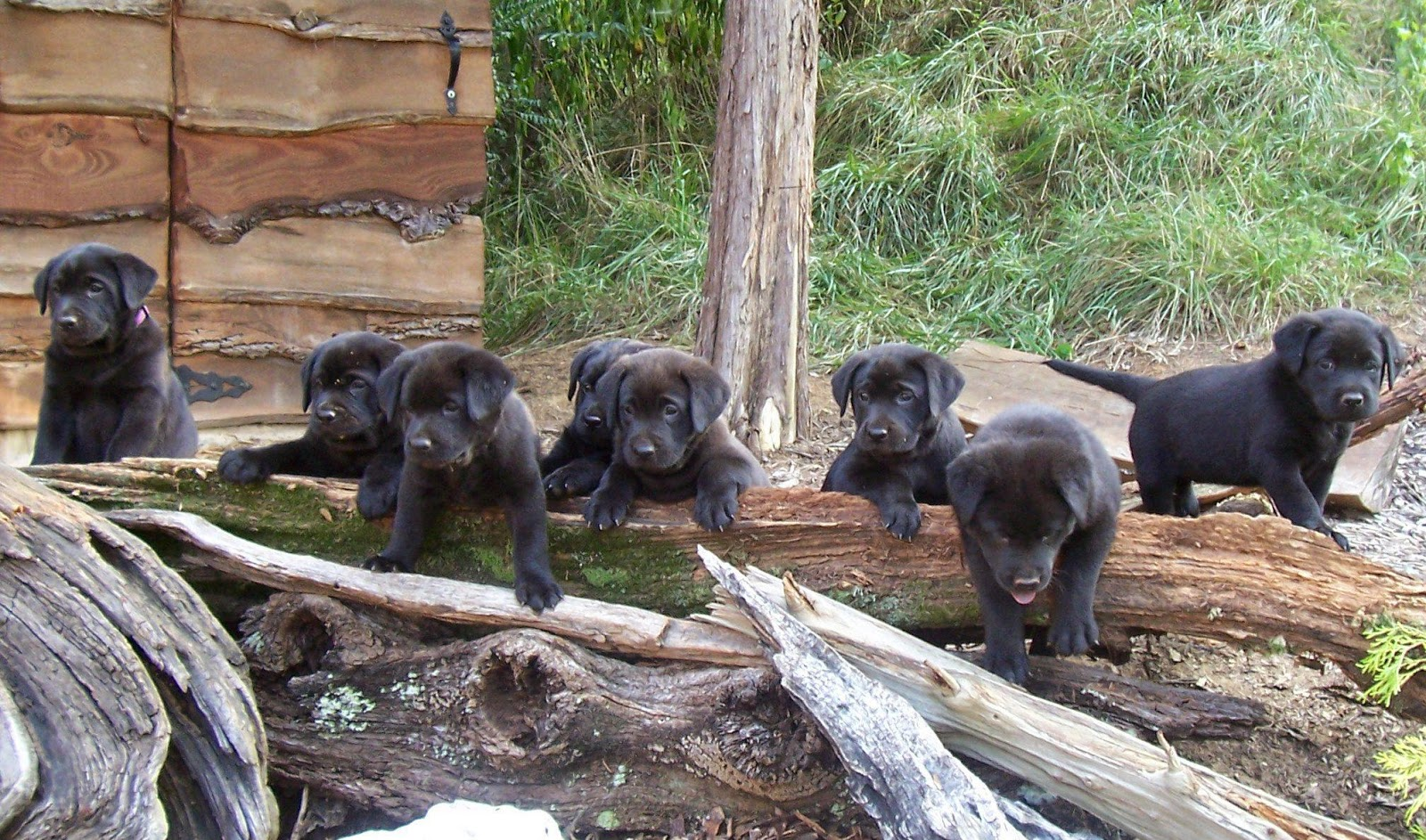 nice and cute pictures of black labrador puppies