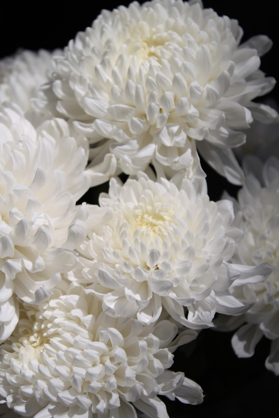 white chrysanthemum bouquet, Beautiful flower