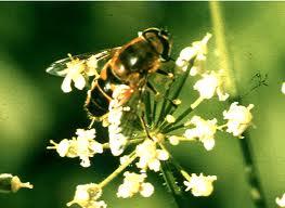 Gli argomenti spaziano insetti utili for Divora larve di zanzara