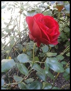 A Special Rose