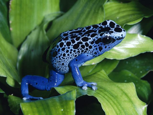 nails nailart nail art nailpolish polish mani manicure Spellbound ABC Challenge f is for frog Poison Dart dots spots blue China Glaze First Mate Secret Peri-Wink-Le sponge sponged sponging gradient speckled speckles speckle