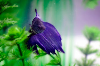 Betta fish Beautiful Color Purple
