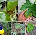 13 Tip Amalan Membaja Pokok Tin Bagi Penanaman Dalam Bekas (Containerised Planting)