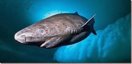 tiburon lento de groenlandia