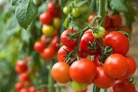 Cara Budidaya Tomat Agar Berbuah Lebat