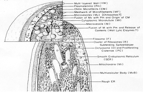 Struktur sel fungi