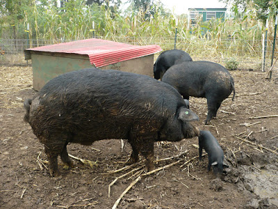 Black Mulefoot Male and Piglet