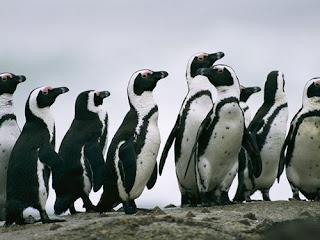 Gambar Kumpulan Pinguin Lucu