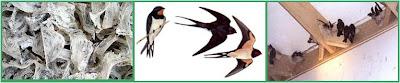 Burung Walit