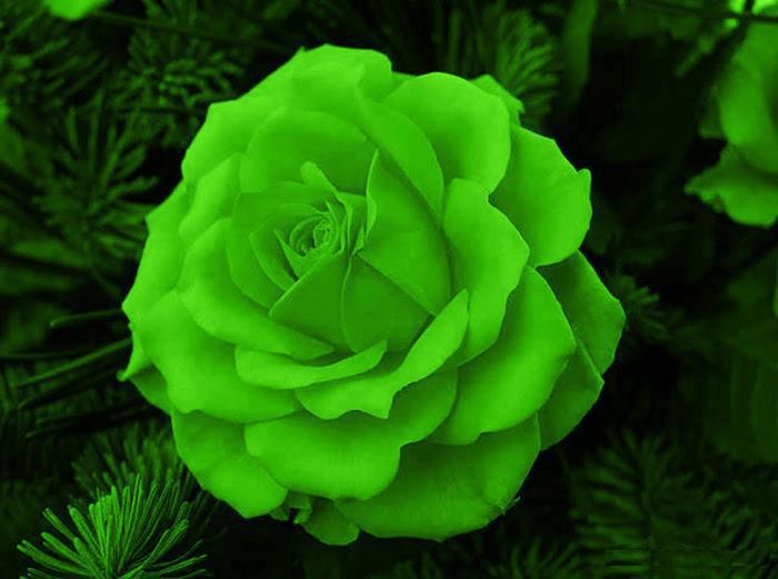 Significado de las rosas significado de las rosas for Green colour rose images