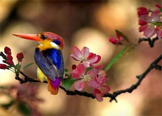 burung pelangi