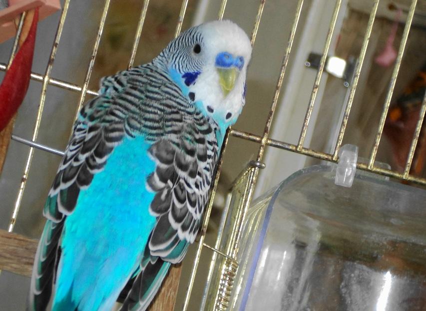Научить говорить волнистого попугая в домашних условиях