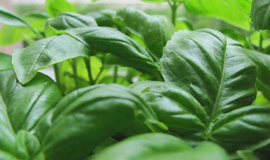 Basil: The taste of summer