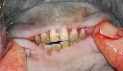 Gigi ikan pacu yang mirip dengan gigi manusia