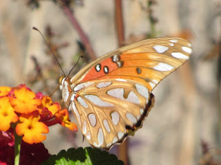 The Passion Flower Butterfly  Gulf Fritillary