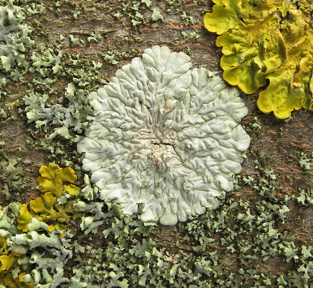 White Lichen on a Tree
