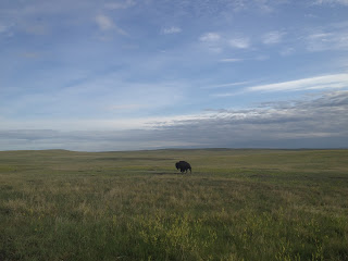 a buffalo wanders the Badlands
