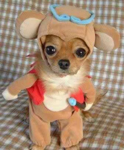 R Chihuahuas Smart Funny and cute dogs an...