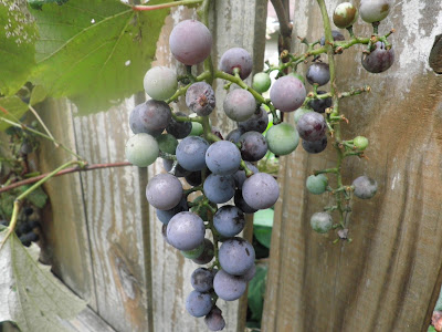 Concord grapes hanging from a living grape vine