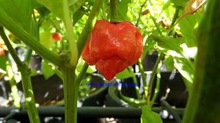 Trinidad 7 Pot, Trinidad Butch T Scorpion seeds
