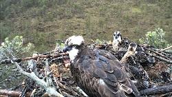 Cámara del águila pescadora