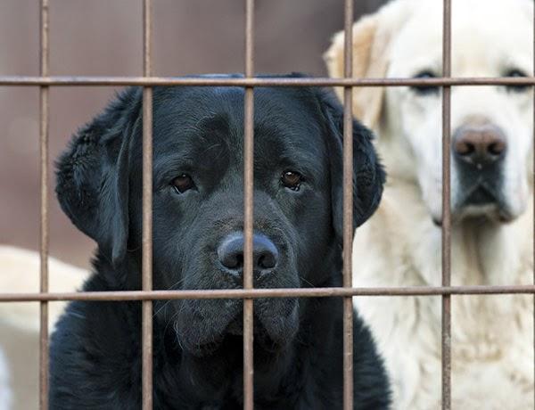 Black Dog Syndrome Aspca