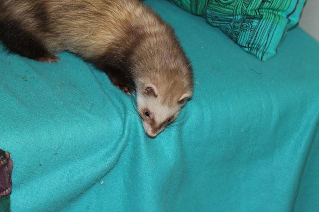 Suklaa fretti ferret sohvalla