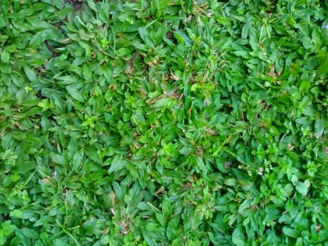 Jual rumput gajah mini | jasa penanaman rumput | jasa tukang taman | supplier tanaman hias dan rumput taman