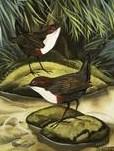 water ouzel or water dipper birds