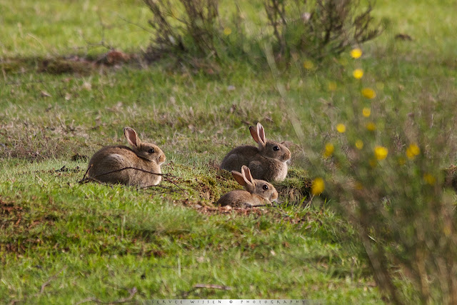 Jonge konijntjes wagen zich buiten het hol voor een paar straaltjes zon. Het is oppassen geblazen want nog geen 50 meter verderop zit een Vossenhol - Juvenile Rabbits dare go outside the hole to catch some sunrays. They have to be carefull because there's a Foxhole less than 50 meters away.
