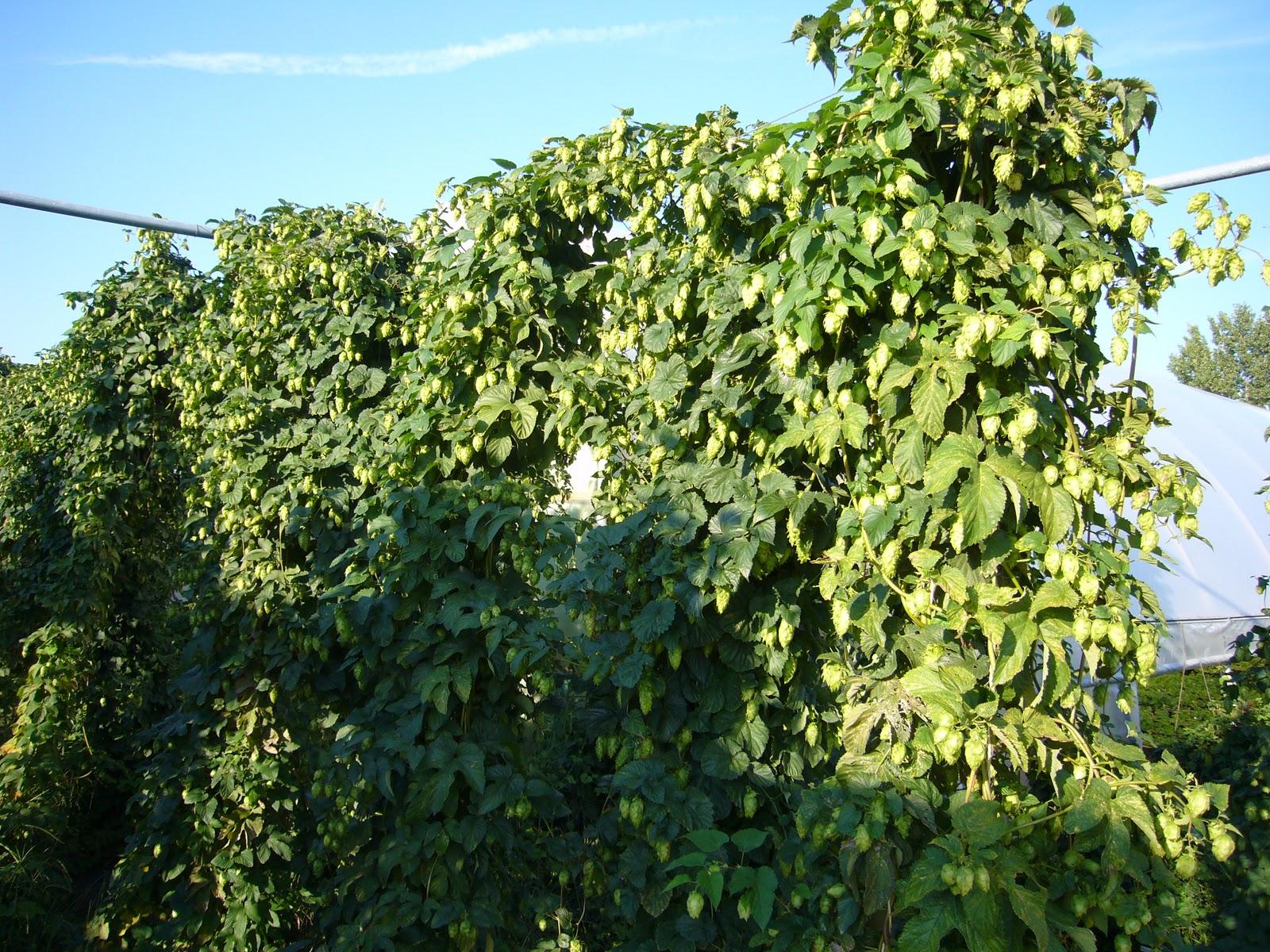 The beer hops blog hop plants for sale for Plants for sale