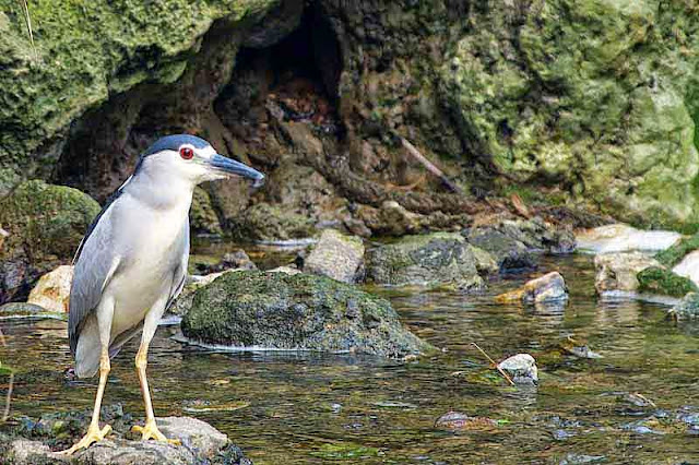 Black-crowned Night-Heron,adult,stream