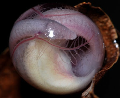 nuevo animal descubierto en la india reptil anfibio lombriz