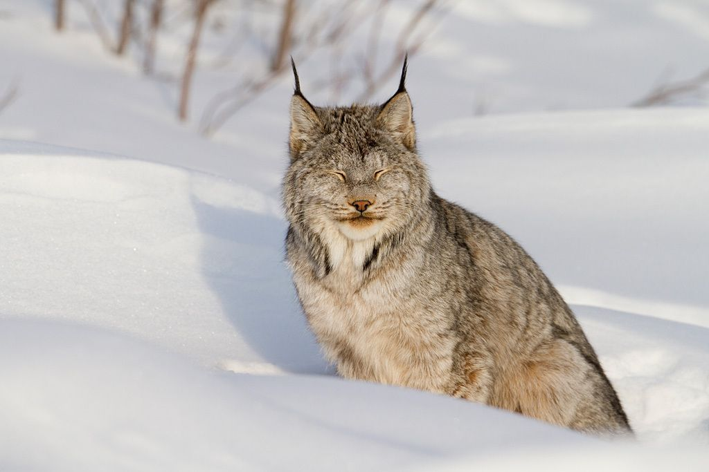 10. Lynx enjoying the winter sunshine by Nicolas Dory