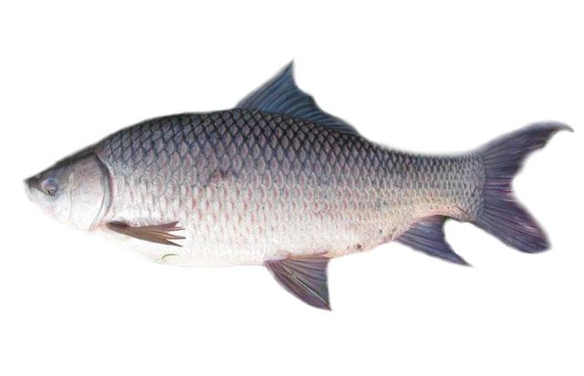 Biology of Animals: Labeo rohita (rohu fish)640 x 412 jpeg 70kB