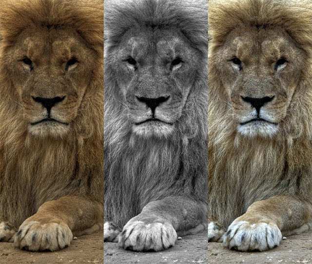 photo animaliere lion, photo lion noir blanc, hdr tuto, photo hdr fabien monteil