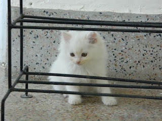 2 Months Old White Persian Cat For Sale In Karachi