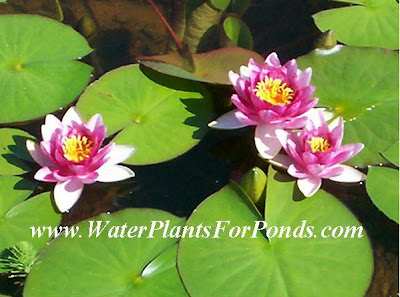 Attraction Red Hardy Water Lilies Perfect For Pond Filtration - Available at Country Koi Fish Farm