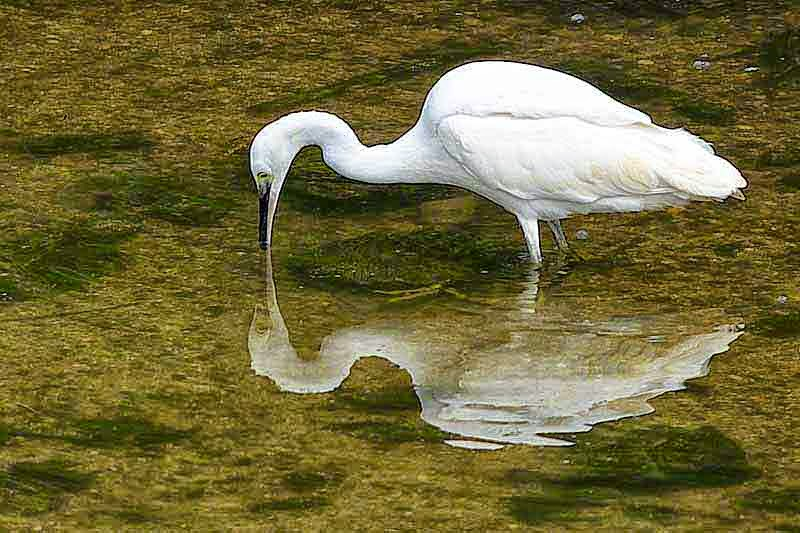 bird, egret, reflection