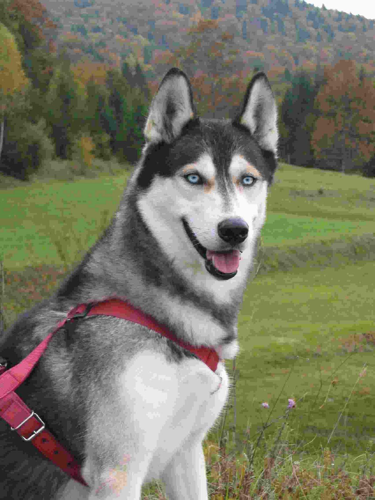 Why do so many huskies have heterochromia  Quora