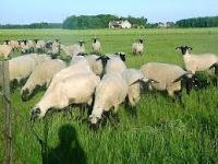 domba yang baik