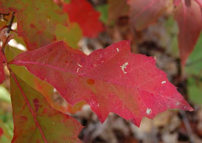 tettegouche red oak leaf