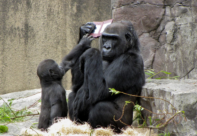 A gorilla playing Nintendo DSi XL, gorilla pictures, gorilla playing nintendo